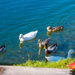 Enten am Grafenbergsee in Wagrain